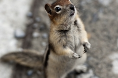 Ground Squirrel, Sulphur Mountain, Banff