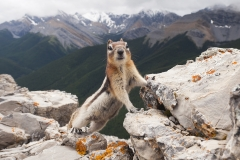 Ground Squirrel, Jasper National Park